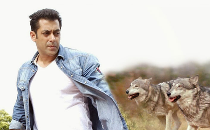 Salman Khan to be shooting with a pack of Wolves in high octane action in YRF's Tiger Zinda Hai